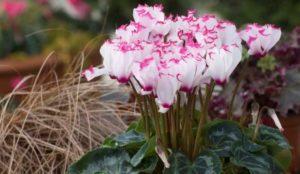 Flores de citamen